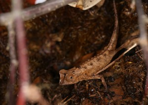 Brookesia stumpffi (male)