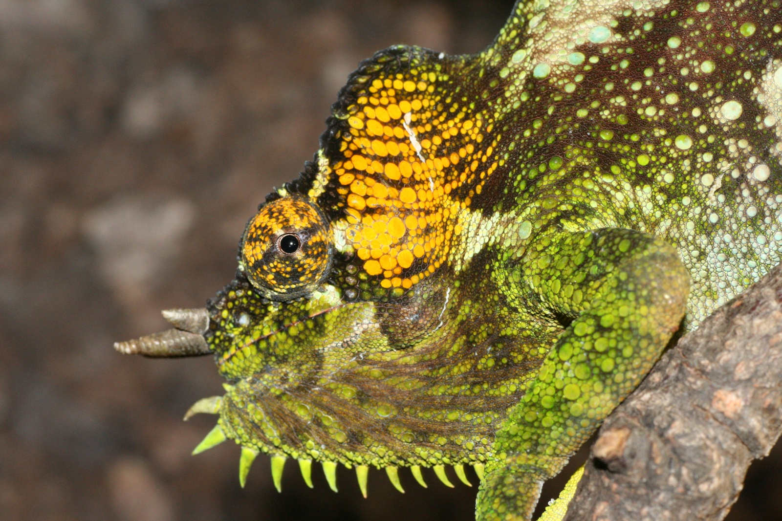 Trioceros quadricornis gracilor (male)