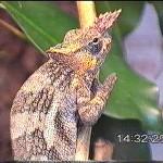 Kinyongia tavetana (male)