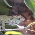 Kinyongia tavetana (female)
