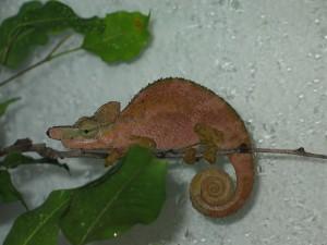 Kinyongia xenorhina (male)