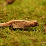 Brookesia peyrierasi (female)