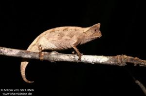 Brookesia superciliaris (male) (Andasibe Mantadia)