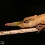 Calumma gallus (male) (Southeast Andasibe Mantadia)