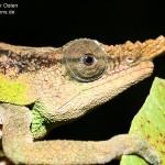Calumma malthe (male) (Andasibe Mantadia)