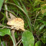 Calumma globifer (juvenile)