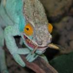 Calumma parsonii parsonii (Orange Eye) (male)