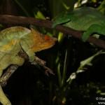 Calumma parsonii parsonii (Yellow Giant) (South from Andasibe Mantadia) (couple)