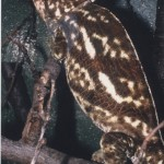 Calumma parsonii parsonii (brown morph) (male)