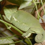 Chamaeleo calyptratus (female)
