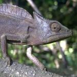 Trioceros cristatus (female)