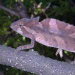Trioceros cristatus (male)