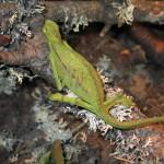 Trioceros ellioti (gravid female)