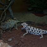 Chamaeleo namaquensis (pair)