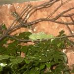Trioceros quadricornis quadricornis (male)