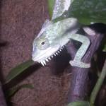 Trioceros quadricornis quadricornis (female)