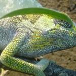 Kinyongia xenorhina (female)