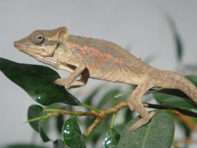 Bradypodion setaroi (male)