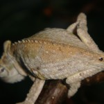 Bradypodion thamnobates (female)