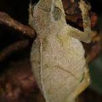 Rhinodigitum nchisiensis (gravid female)