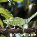 Furcifer labordi (male)