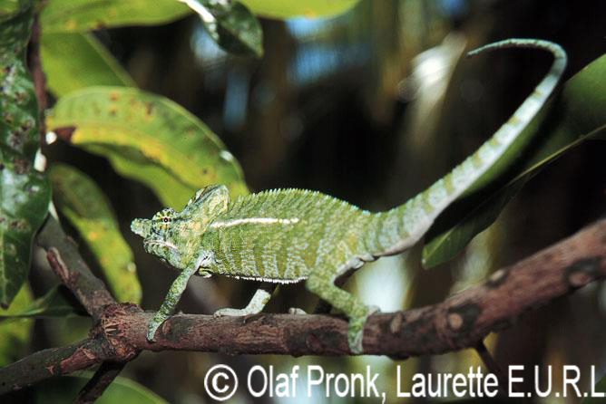 Furcifer labordi (male)