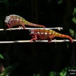 Furcifer pardalis (South from Andasibe Mantadia) (males)