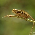 Furcifer pardalis (Ampananary) (juvenile)