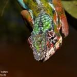 Furcifer pardalis (Nosy Mangabe) (male)