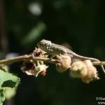 Furcifer pardalis (South from Andasibe Mantadia) (juvenile)