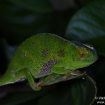 Furcifer willsii (female) (Andasibe Mantadia)