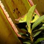 Furcifer willsii (male) (Andasibe Mantadia)