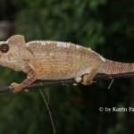 Furcifer oustaleti (male)