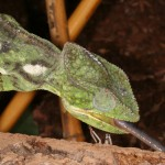 Furcifer oustaleti (female)