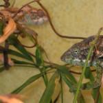 Furcifer verrucosus (pair)