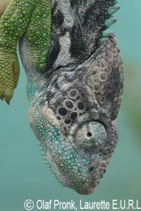 Furcifer verrucosus (male)