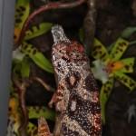Furcifer minor (male)