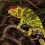 Furcifer minor (female)