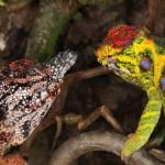 Furcifer minor (pair)
