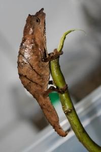 Rhampholeon spectrum (male)