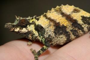 Rhinodigitum acuminatus (female)