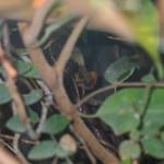 Brookesia perarmata