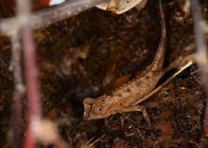Brookesia stumpffi (male)