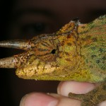 Trioceros johnstoni (Ruwenzori) (male)