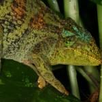 Trioceros johnstoni (Ruwenzori) (female)