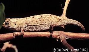 Brookesia exarmata