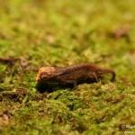 Brookesia peyrierasi (juvenile)