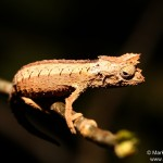 Brookesia thieli (male) (Andasibe Mantadia)