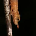 Calumma gallus (male juvenile) (Southeast Andasibe Mantadia)