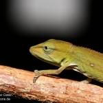 Calumma gastrotaenia (juvenile) (Andasibe Mantadia)